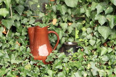 Pitchers in ivy Royalty Free Stock Image