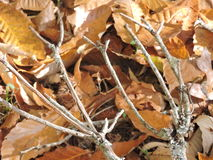 Pitchfork appearing tree limbs, twigs in the fall leaves. Funky looking twigs in the fall leaves Royalty Free Stock Image