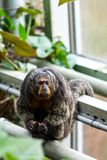Pithecia monkey sitting on the branch near the tree.  Royalty Free Stock Photos