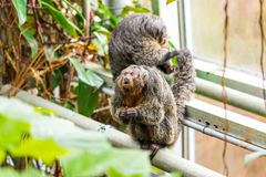 Pithecia monkey sitting on the branch near the tree Stock Image