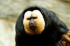Pithecia pithecia, Golden-face saki monkey Royalty Free Stock Images
