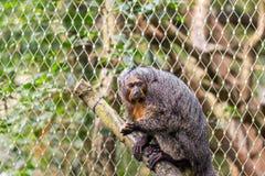 Pitheciaaffe, der auf der Niederlassung nahe dem Baum sitzt Stockfoto