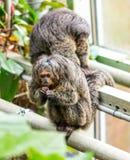 Pitheciaaffe, der auf der Niederlassung nahe dem Baum sitzt Stockbilder