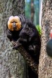 Pitheciidae,面无血色的saki 免版税图库摄影