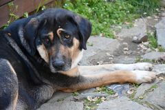 Pitiable stray dog in greece. Pitiable homeless black  stray dog  He looks very  sad and one of his eyes is inflamed Royalty Free Stock Image