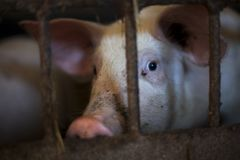 Pitiable pig in small cage waiting to be killed, in dark tone. Pig in small cage waiting to be killed, in dark tone Royalty Free Stock Images