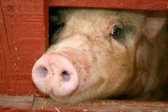 Pitiful. Swine at the fair Royalty Free Stock Image