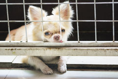 Pitiful small  chihuahua dog sitting in cage Royalty Free Stock Photos