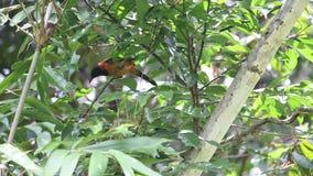 Pitohui à capuchon en parc national de Varirata, Papouasie-Nouvelle-Guinée banque de vidéos
