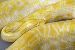 Pitone dell'oro, pitone reticolare (reticulatus del pitone) Immagini Stock