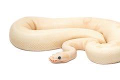 Pitone reale dell'albino della neve (pitone regio) Fotografie Stock