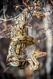 Pitone reticolare in albero fotografia stock libera da diritti