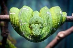 Pitone verde Fotografie Stock