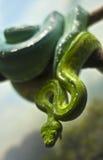 Pitone verde Immagini Stock