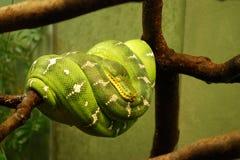 Pitone verde dell'albero Fotografia Stock