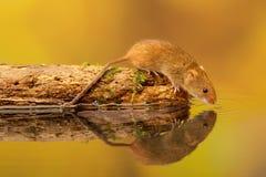 Pitstop del ratón de cosecha Foto de archivo