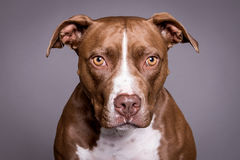 Pitt byka psa portret w popielatym tle Zdjęcia Royalty Free