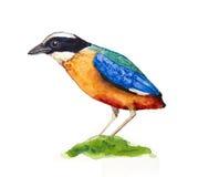 Pitta Azul-con alas Fotos de archivo libres de regalías