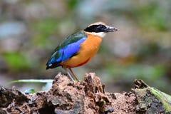 Pitta Azul-con alas Foto de archivo