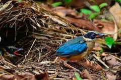 Pitta Azul-con alas joven Imagenes de archivo
