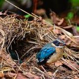 Pitta Azul-con alas joven Imagen de archivo libre de regalías
