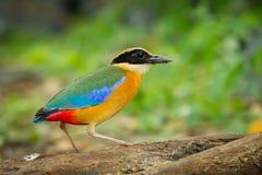 Pitta Azul-con alas (moluccensis de Pitta) Imagen de archivo libre de regalías