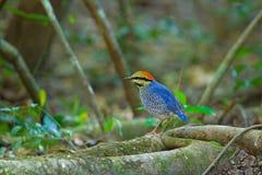 Pitta azul (varón) Imagen de archivo
