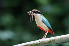 Pitta Biue-Con alas Fotos de archivo libres de regalías
