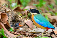 Pitta Bleu-à ailes Image stock