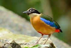 Pitta Bleu-à ailes images libres de droits