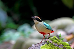 Pitta feericamente, pássaros da oito-cor Imagens de Stock