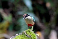 Pitta feericamente, pássaros da oito-cor Foto de Stock Royalty Free