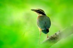 Pitta indiano, brachyura di Pitta, nel bello habitat della natura, parco nazionale di Yala, Sri Lanka Uccello raro nella vegetazi immagini stock