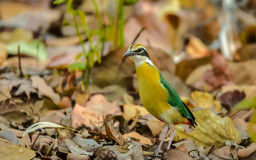 Pitta indien (brachyura de Pitta) photo stock