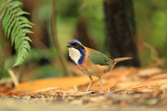 Pitta-like ground roller Royalty Free Stock Images