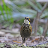 Pitta réuni malais femelle Photographie stock
