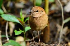 Pitta rouillé-naped femelle Images libres de droits