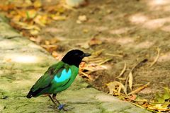 Pitta sordida in aviary Stock Photography