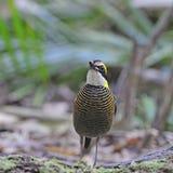 Pitta unido Malayan fêmea Fotografia de Stock