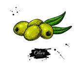 Pitted olive with leaves. Hand drawn vector illustration. Isolated drawing on white background. Stock Photo