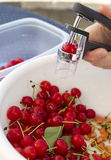 Pitting Sour Cherries. In a bowl Royalty Free Stock Images
