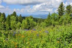 Pittoresk sikt av att blomma den alpina ?ngen i Altai berg, Ryssland royaltyfri fotografi