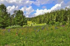 Pittoresk sikt av att blomma den alpina ?ngen i bergdalen royaltyfri fotografi