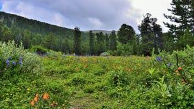 Pittoresk sikt av att blomma den alpina ?ngen i bergdalen fotografering för bildbyråer
