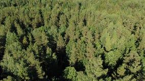 Pittoreska gröna täta skogträd som tänds av ljust solsken stock video
