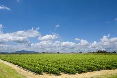Pittoreskt jordgubbefält Arkivfoton