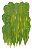 Pittosforum leafs XXL Royalty Free Stock Photography