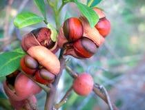Pittosporum berries. Cracked open Pittosporum berries, ideal food for birds stock photos