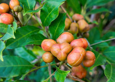Pittosporum berries. Fruiting mid spring to early summer in Australia, very popular with wild bird life Royalty Free Stock Photo