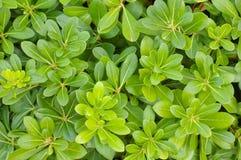 pittosporum bush Стоковые Изображения RF